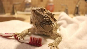 Bearded Dragon in Bath with Tooth Brush