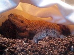 Bearded Dragon in Lay Box