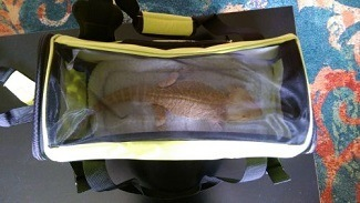 Bearded Dragon in a Travel Carrier