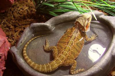 Bearded Dragon in water dish