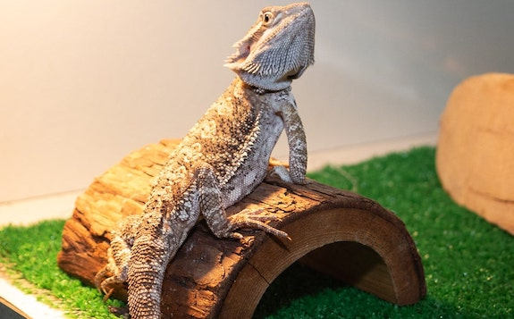 Bearded Dragon on Hide