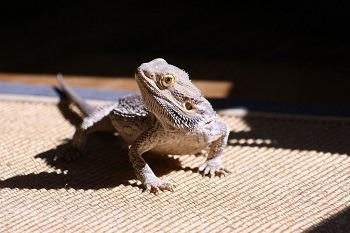 Bearded Dragon on Non Particle Substrate