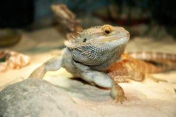 Bearded Dragon on Sand Substrate