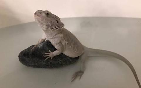 Bearded Dragon perched on rock in bathtub
