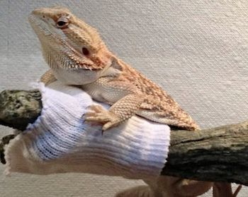Bearded Dragon with Sock in Cage