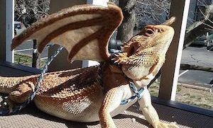 Bearded Dragon with wings and leash on