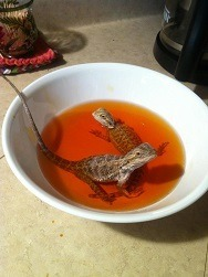 Bearded Dragons in Betadine Bath