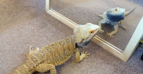 Bearded dragon and glass mirror