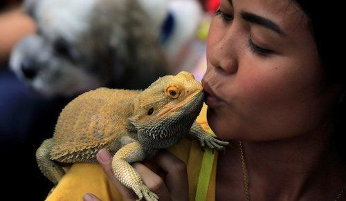 Bearded dragon and owner kissing