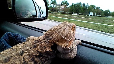Bearded dragon being held while driving