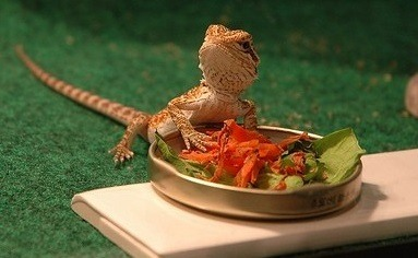 Bearded dragon eating carrots