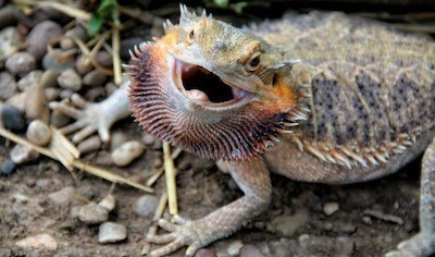 Bearded dragon puffing up