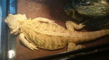 Bearded dragon suffering from hypercalcemia