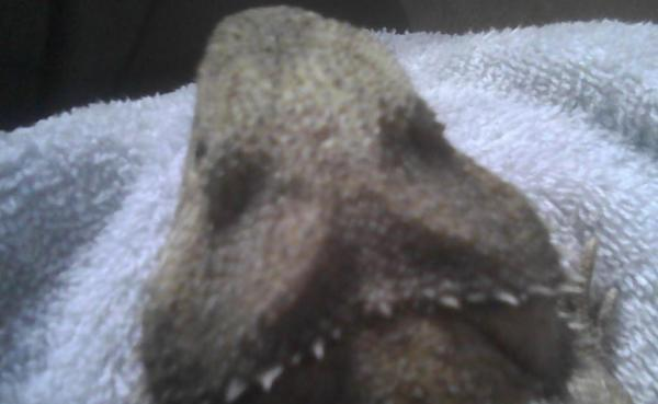 Bearded dragon sunken fat pads