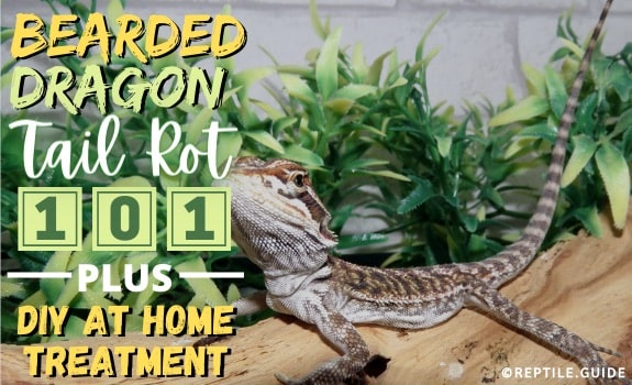 Bearded dragon tail rot