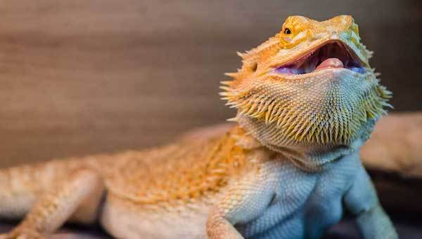 Bearded dragon thermoregulating