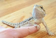Bearded dragon with owner