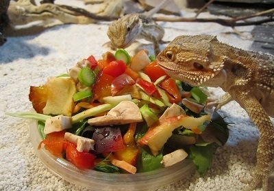 Bearded dragons eating a varied diet
