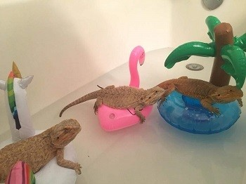 Bearded dragons floating on toys