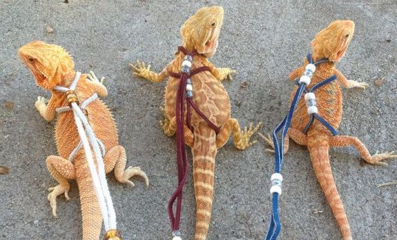 Bearded dragons on a walk