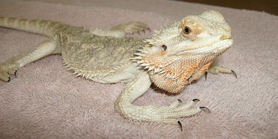 Beardie with MBD