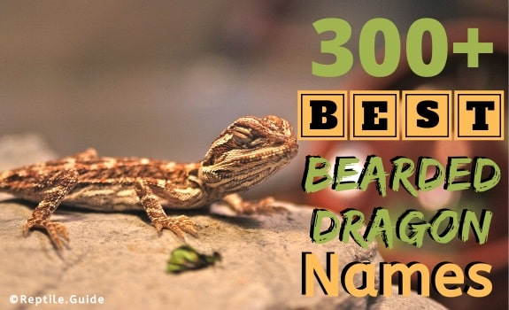 Best bearded dragon names
