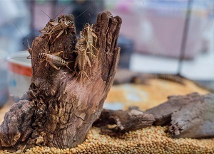 Breeding Crickets