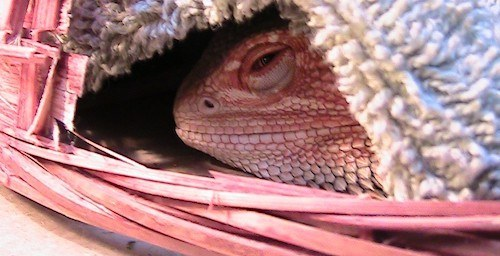 Brumating Bearded Dragon