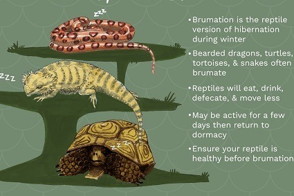 Brumation in Reptiles