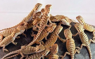Clutch of Bearded Dragons Hatchlings