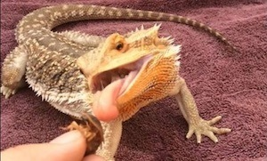 Handing feeding bearded dragon live food