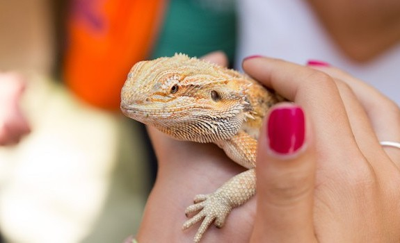 Handling bearded dragons