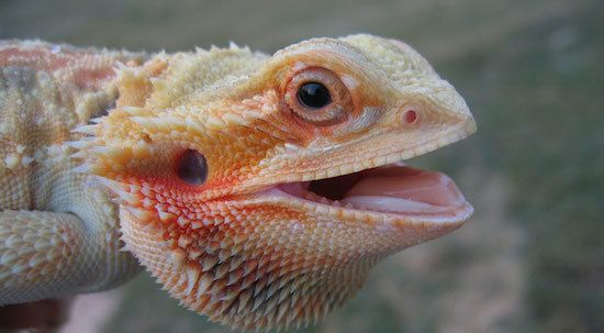 Hot bearded dragon