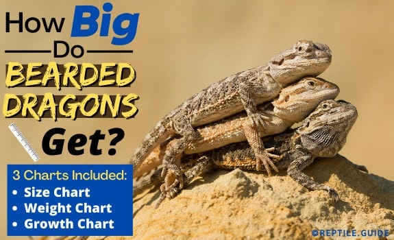 How Big Do Bearded Dragons Get