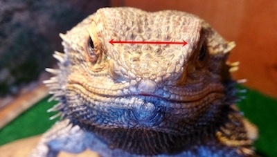 How big of a cricket can you feed a bearded dragon