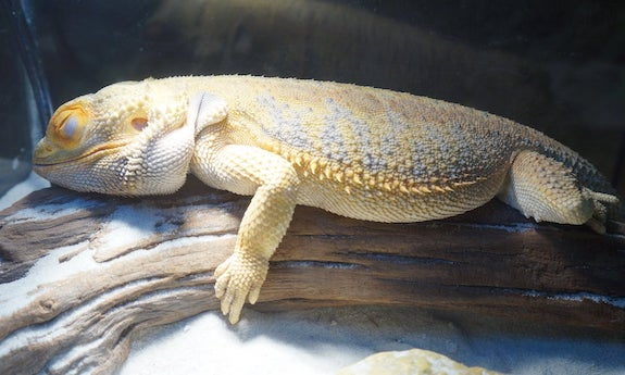 How long does brumation last for bearded dragons
