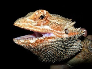 Hungry looking bearded dragon