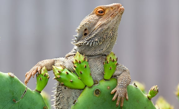 Is Cactus Safe for a Bearded Dragon