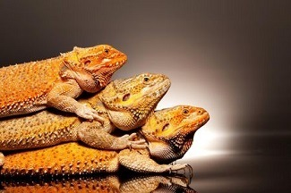 Multiple Bearded Dragons In Same Tank