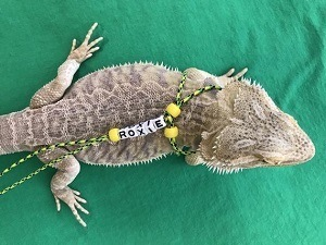 Personalized and Adjustable Bearded Dragon Leash