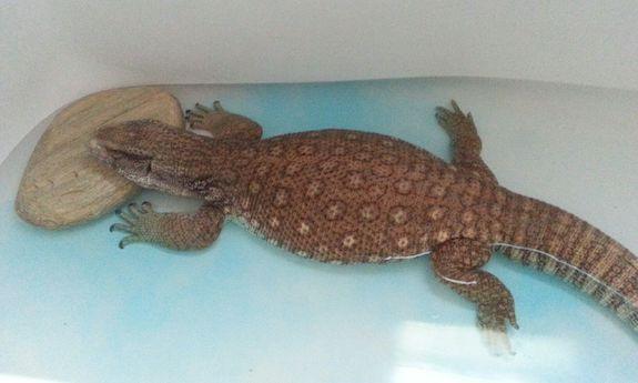 Powerade reptile bath