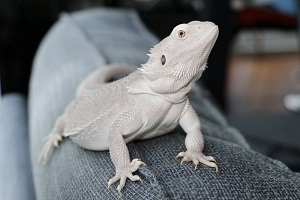 Rare Bearded Dragon Morph