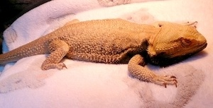 Sick bearded dragon