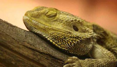 Sleepy Bearded Dragon