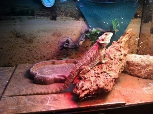 Smelly Bearded Dragon Tank