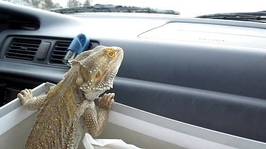 Traveling With a Bearded dragon in the front seat