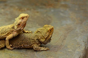 Two Bearded Dragons Mating