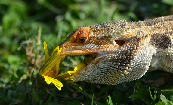What flowers can bearded dragons eat