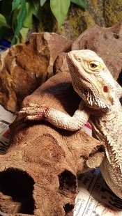 Wounded Bearded Dragon