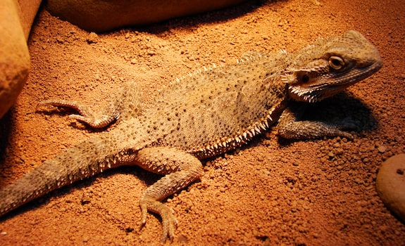 are bearded dragons easy to take care of